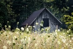 Barn with Queen Anne's Lace, rustic photo.  .... would love to travel Ontario and take pics of old barns!