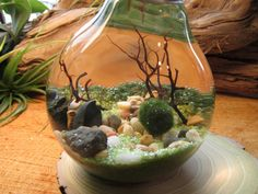 Marimo Terrarium by Midnight Blossom  Reclaimed Light Bulb