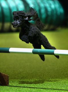 poodle dog haircuts 187 best poodle images on poodles pets and 5481 | 4fa4c724dd922d890db1658d518b5481 poodle rescue dog agility