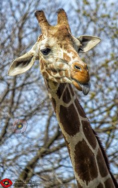 Visit with our animal friends at the Lincoln Park Zoo - Giraffe at Lincoln Park Zoo
