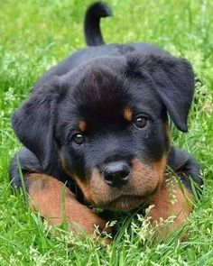 """See our web site for additional info on """"Rottweiler puppies"""". It is actually a superb location to read more. Super Cute Puppies, Cute Baby Dogs, Cute Little Puppies, Cute Dogs And Puppies, Cute Little Animals, Cute Funny Animals, Pet Dogs, Doggies, Puppies Puppies"""
