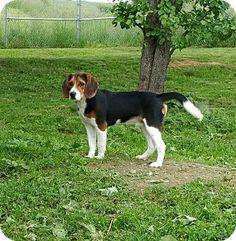Lisbon, OH - Beagle Mix. Meet Buddy a Dog for Adoption.