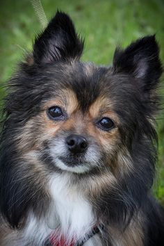 Foxy Lady is an adoptable Pomeranian searching for a forever family near Canton, MI. Use Petfinder to find adoptable pets in your area.