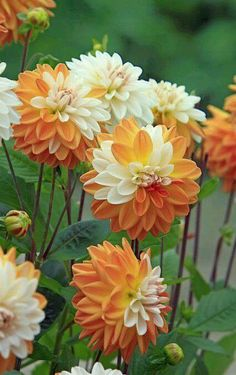 hollyhill tigress - wl - from hh dahlias | dahlias new for 2016