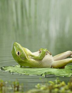 Ain't worried about nothing (frog just chillin on his lily pad) - pets & animal