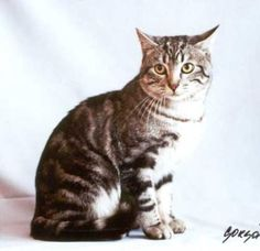 European Shorthair  This cat looks exactly like my Jack cat...