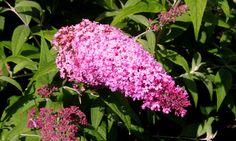 Tutti frutti butterfly bush