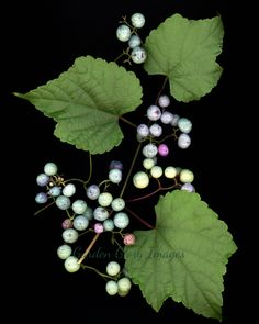 Lovely porceline vine with colorful berries, photo. Unique print for your wall! gardengloryimages.etsy.com
