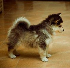 "This is a ""pomsky""--a full grown Pomeranian and a husky mix. Omg,  I want one!!!!"