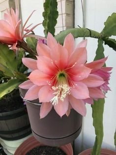 Epiphyllum : Cutting not rooted. Overlapping cup and saucer form. Many varieties have blends of two are more colors. Orchid Cactus, Cactus Flower, Cacti And Succulents, Cactus Plants, Exotic Flowers, Beautiful Flowers, Autumn Clematis, Euphorbia Milii, Low Maintenance Garden