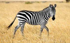 Home - Decor Zebras, Zebra Pictures, Safari, Illustration, Binder, School, Check, Google, Stripes