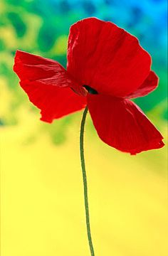 A poppy flower for my Grandfather. It symbolizes sacrifice and honors the soliders at war. Happy Memorial Day!