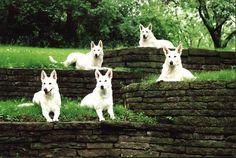 5 white shepherds on a pristine lawn...Hauntingly Beautiful #dogs #germanshepherds