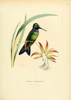 iolaema schreibersi - high resolution image from old book.Size in pixels: Botanical Drawings, Botanical Prints, Floral Prints, Nature Prints, Bird Prints, Martial, Audubon Birds, John James Audubon, Sea Art