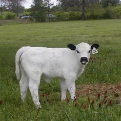 Love Cute Cows