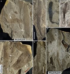 Examples of various eukaryotic communities preserved in the mudstones of the Gaoyuzhuang Formation.