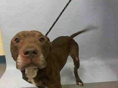 ♡ MY LIFE MATTERS ♡ WILLIS – A1058337 MALE, BR BRINDLE, PIT BULL, 6 yrs STRAY – ONHOLDHERE, HOLD FOR ID Reason STRAY Intake condition UNSPECIFIE Intake Date 11/18/2015, From NY 10454, DueOut Date11/21/2015,