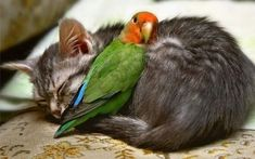 It seems cats do get on really well with other animals, and I have proof, because I have 10 images that show normal pet cats with unlikely animal friends. Cute Baby Animals, Animals And Pets, Funny Animals, Funny Cats, Odd Animals, Funny Birds, Animals Kissing, Strange Animals, Silly Cats
