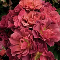 Cinco De Mayo Rose from David Austin David Austin Roses, Very Beautiful Flowers, Pretty Flowers, Beautiful Things, Floribunda Roses, Bird Fountain, Parfum Rose, Rose Varieties, Garden Bulbs