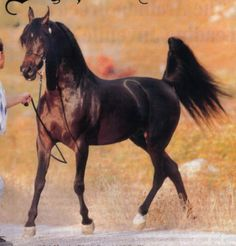 Arabians are probably some of the most majestic horses I've ever seen.