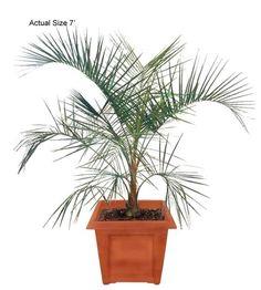 buy cold hardy palm trees mule-palm-tree-xbutyagrus-nabbonnandi palm tree wholesale cold hardy palms realpalmtrees.com