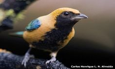 The burnished-buff tanager (Tangara cayana), also known as the rufous-crowned tanager, is a common South American species of bird in the Thraupidae family. It is found in the northern Guianas, most of...