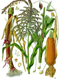 Botanical drawing of corn, flowers, leaf, fruit