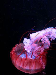 red_jellyfish