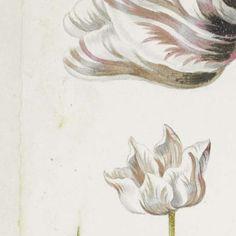 Two Tulips with Insects, Jacob Marrel, 1624 - 1681 - De wereld van Alida Withoos-Collected Works of Liesbeth Missel - All Rijksstudio's - Rijksstudio - Rijksmuseum