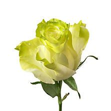 Painted Fantasy Rose, Green (50 stems)