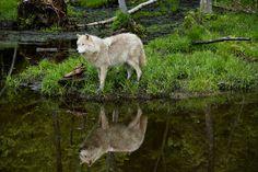 Breathtaking white wolf picture: Crossing Boundaries by CG Photo Club member Vladimir Naumoff from Verdun, Quebec.