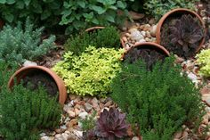 Thyme, oregano and succulents - sweet!