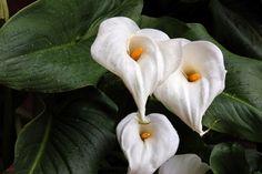 Cala - planta, cala, naturaleza, flor, flower, nature, naturaleza