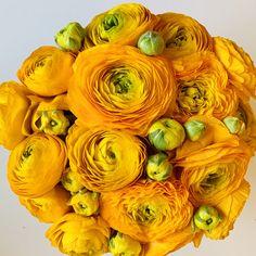 Ranunculus, Fruit, Spring, Pretty, Plants, Persian Buttercup, Plant, Planets