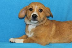 Adopted! Tabitha, a Corgi Mix! www.muttsavers.org