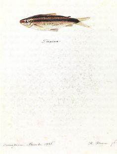 FLORENCE, Hercule -  Taxina - 1826 - Aquarela - 23,4 x 18,5 cm - Coleção Arquivo da Academia de Ciências (São Petersburgo)