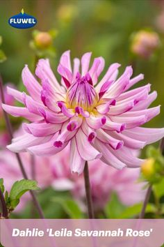 Die Dahlie 'Leila Savannah Rose' ist etwas für verrückte Gartenbesitzer. Ihr flatterhaftes, etwas wildes Aussehen mit den etwas zu langen, leicht eingerollten Blütenblättern machtz sie zu etwas ganz Besonderem. Ihr verspieltes Blütenspiel in verschiedenen Rosatönen ist ein Genuss für das Auge - wenn man das extravagante und ungebändigte mag. Sie wird 80-100 cm hoch, blüht ca. ab Anfang August bis zum ersten Frost und macht sich auch ganz wunderbar in der Vase 💜 Savannah Rose, Savannah Chat, Pink, Daffodils, Dahlias, Eye, Tulips, Pink Hair, Roses