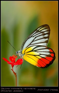 This image is an example of Shallow DOF The Painted Jezebel (Delias hyparete) is a medium sized butterfly of the Family Pieridae found in Asia. Flying Flowers, Butterflies Flying, Butterfly Kisses, Butterfly Flowers, Beautiful Bugs, Beautiful Butterflies, Borboleta Tattoo, Butterfly Species, Moth Caterpillar