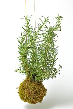 Order today from Gardenmybalcony.com & receive FREE SHIPPING. Twig Rosemary & Thyme Kokedama Hanging Garden