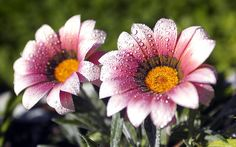 Naturaleza flores gotas de agua macro flores de color rosa fondos de escritorio 2560x1600