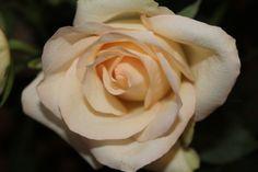 Christmas Rose #http://www.lookbackinvintage.co.uk/