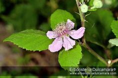 Rubus fruticosus | Flickr: Intercambio de fotos