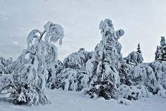 Trees covered in snow - Trees covered in heavy snow. What an interesting snow figure. Snow Trees, Mount Rushmore, Cover, Nature, Photography, Outdoor, Outdoors, Naturaleza, Photograph