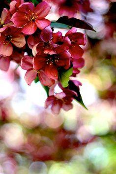 Apple blossom and bokeh