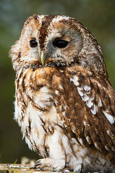 Tawny Owl of Prey Beautiful Owl, Animals Beautiful, Cute Animals, Owl Photos, Owl Pictures, Owl Bird, Pet Birds, Strix Aluco, Tawny Owl