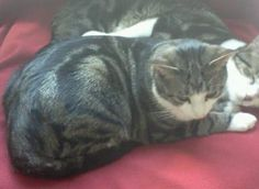 Lost & Found Cats of Connecticut added 2 new photos. >> Branford, CT - Lost Tiger w/White Cat  West Main St & Jefferson Rd, in Jefferson Woods Condos near The Honda Dealership.  Jingle has been missing since July 4. He has never been outside before.  Be on the lookout and help get this boy back home and safe.  Helping Lost Pets: http://www.helpinglostpets.com/petdetail/?id=627972 HeLP Map: http://www.helpinglostpets.com/v2/?pid=627972
