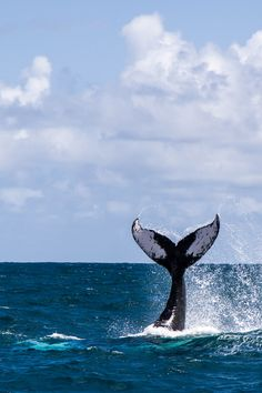 Killer Whale Tail