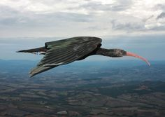 Close to Extinction: NORTHERN BALD IBIS...A mere 200 to 249 adult specimens of the bird are left confined to certain regions of Morocco and parts of Syria. Though the birds have been marked as critically endangered, they have shown significant increase in their numbers in the last few years.