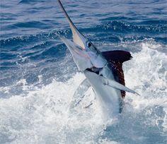 Marlin Fishing in Florida   iOutdoor