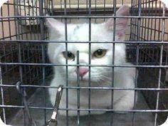 Las Vegas, NV - Domestic Mediumhair. Meet *LOVEUMS a Cat for Adoption.